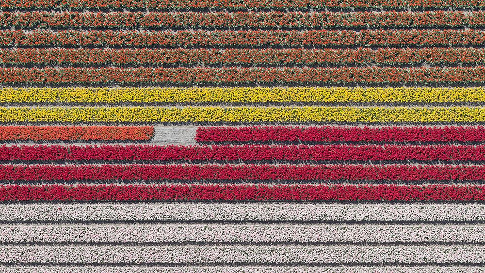 Aerial Views, Tulip Fields 23,Bernhard Lang,Photographie