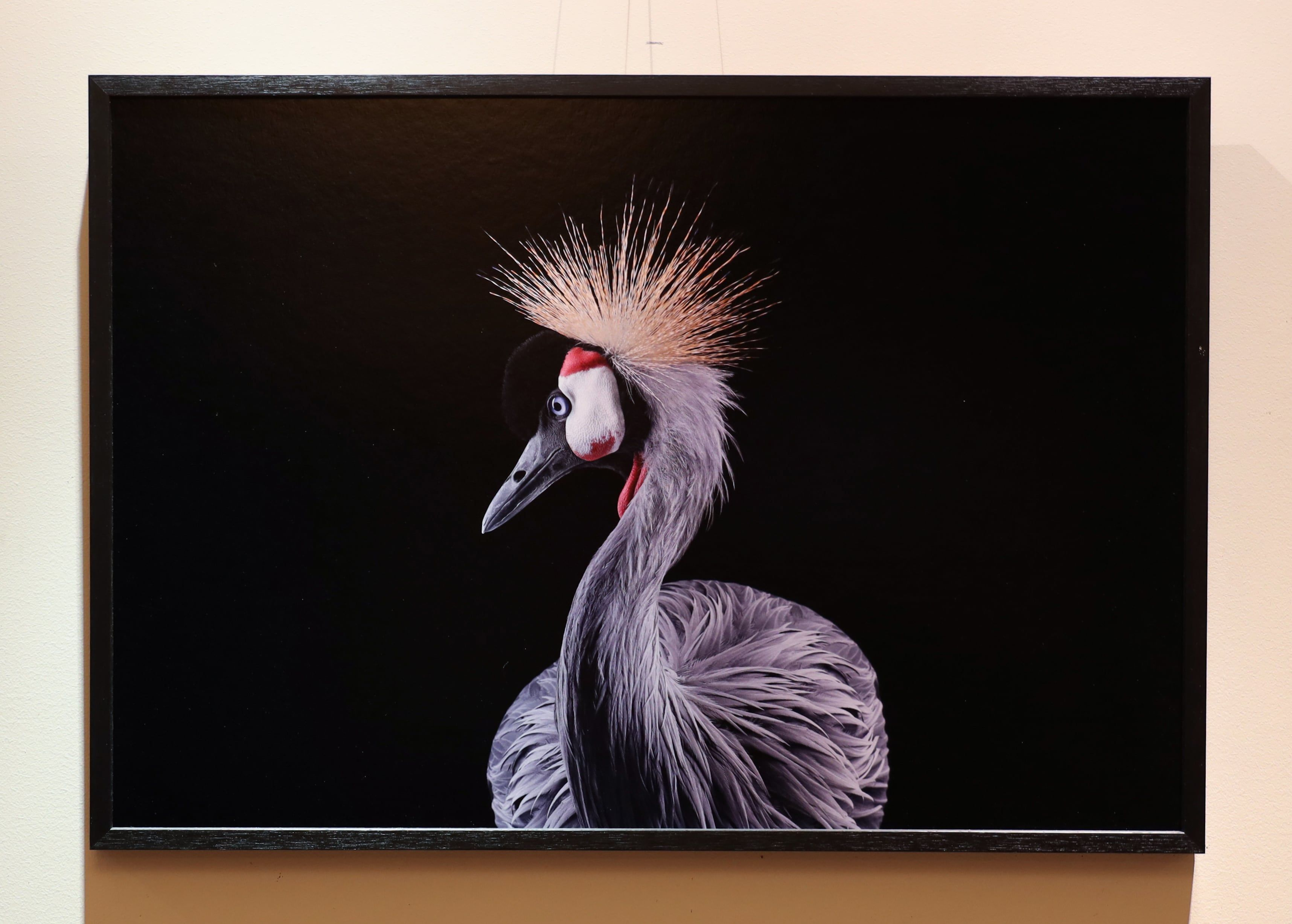 African Crowned Crane #1, Los Angeles, CA, 2011,Brad Wilson,Photographie, detail 1