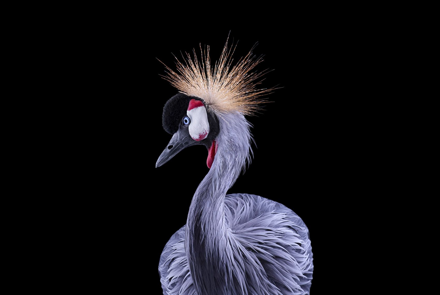 African Crowned Crane #1, Los Angeles, CA, 2011,Brad Wilson,Photography