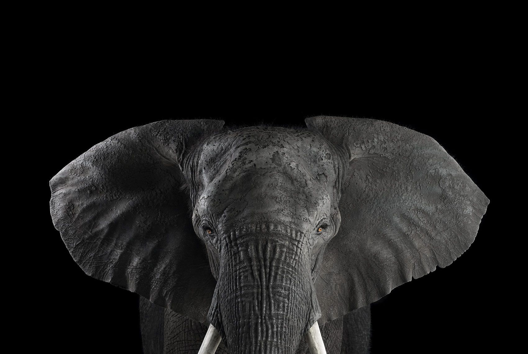 African Elephant #1, Los Angeles, CA, 2011,Brad Wilson,Photographie