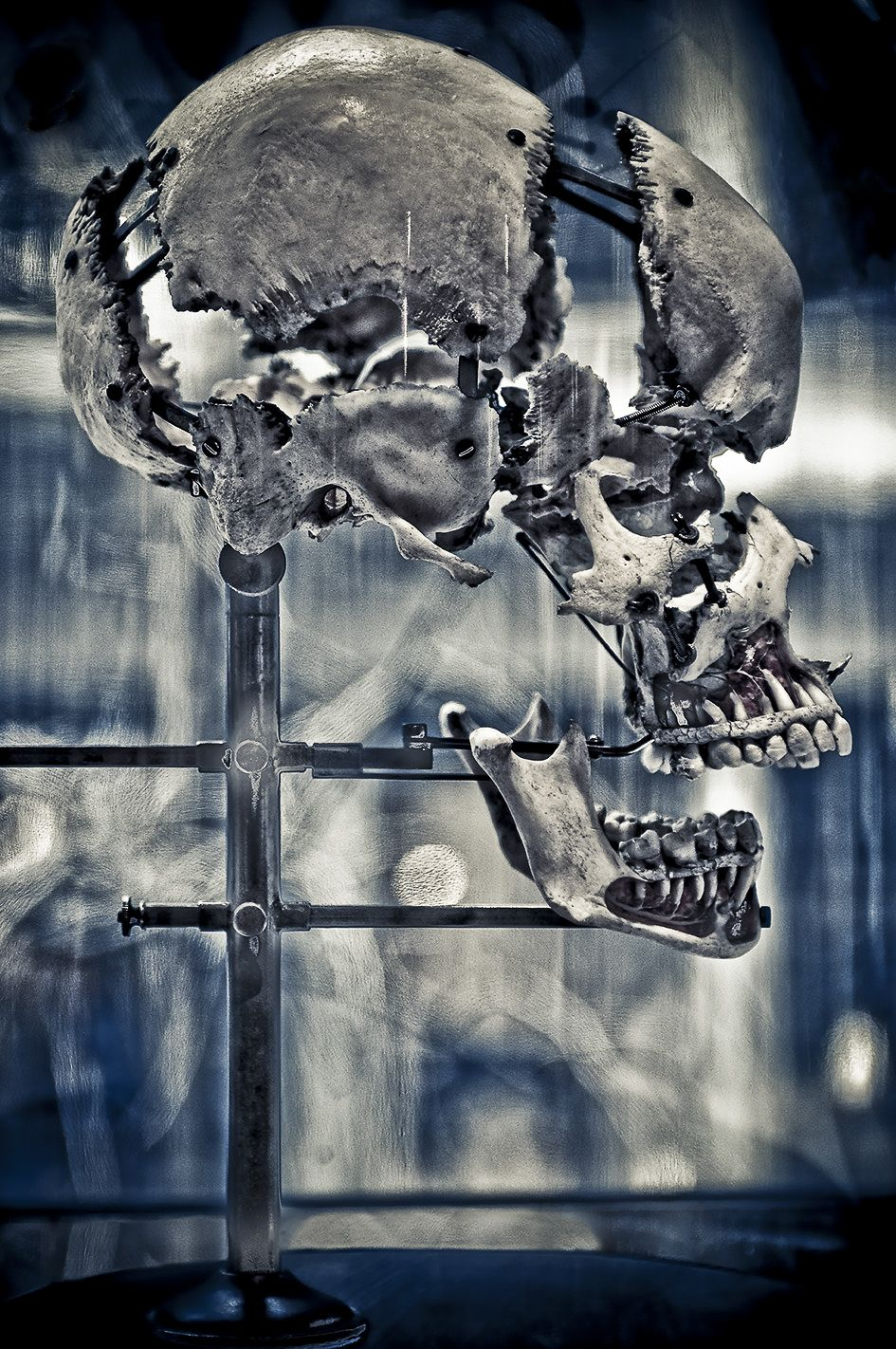 Beauchêne Skull Study 7, New York 2011