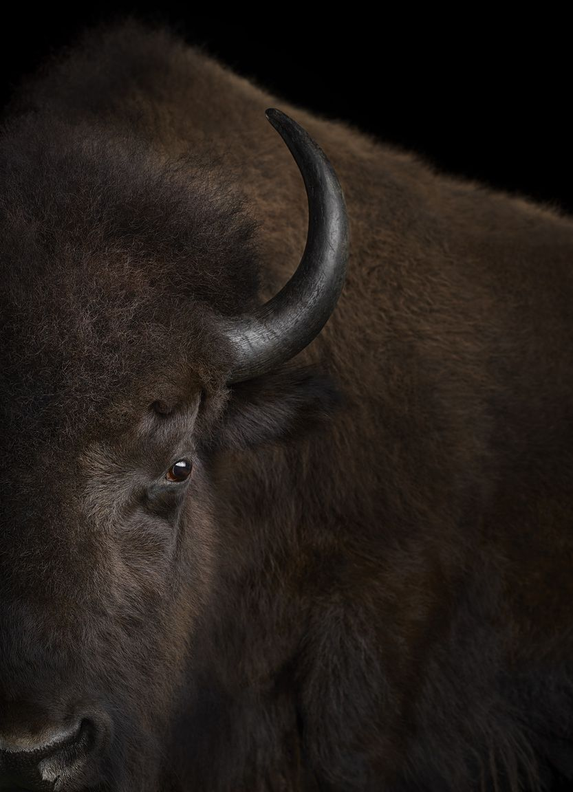Buffalo #3, Santa Fe, New Mexico, USA, 2019,Brad Wilson,Photographie contemporaine