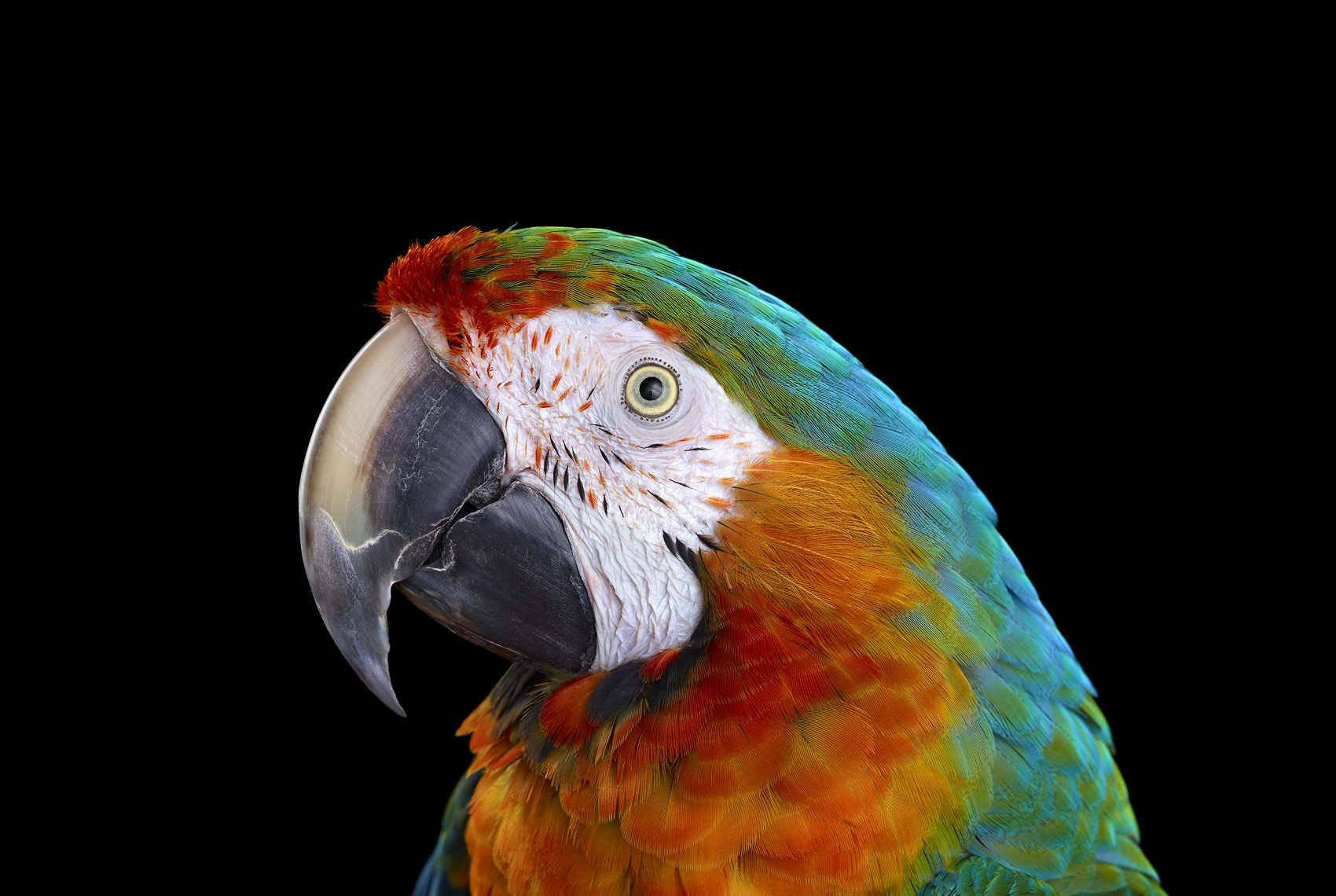 Catalina Macaw #1, Albuquerque, NM, 2016
