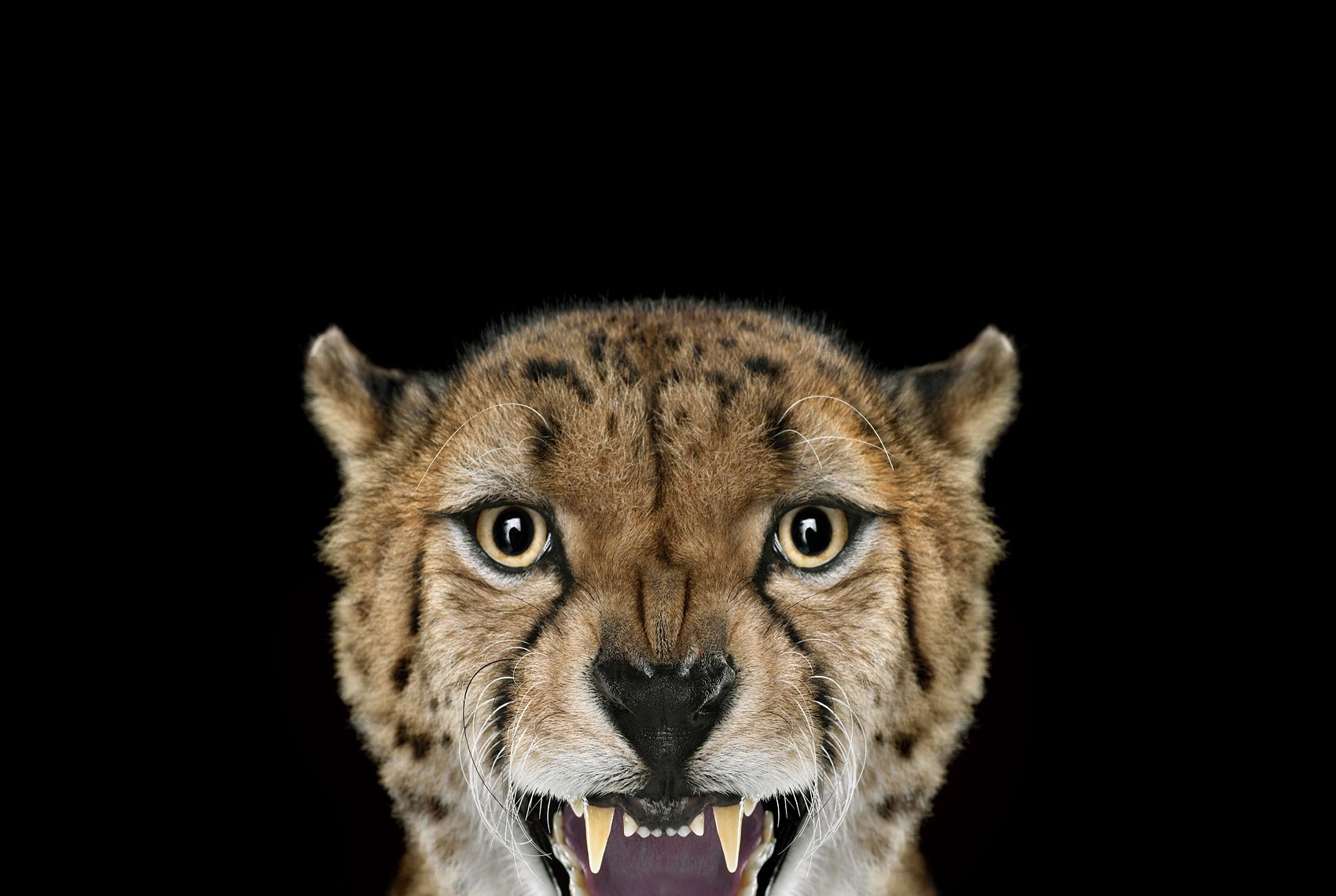 Cheetah #3, Los Angeles, CA, 2011,Brad Wilson,Photographie contemporaine
