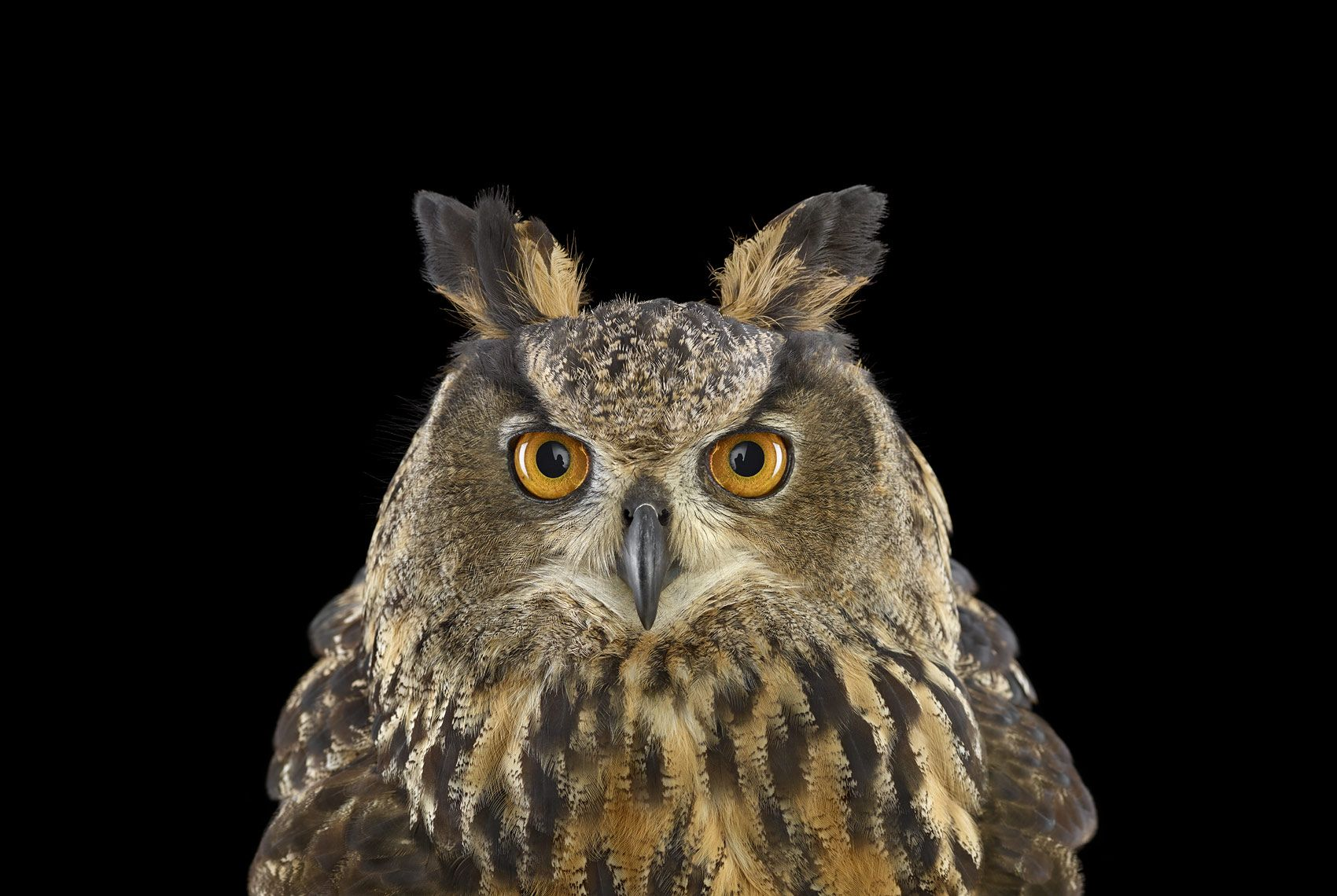 Eurasian Eagle Owl #1, St Louis, MO, 2012,Brad Wilson,Photographie contemporaine