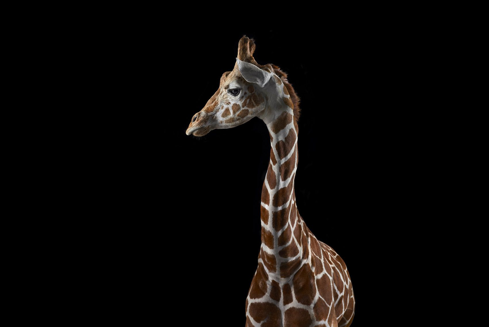 Giraffe #3, Los Angeles, CA, 2011,Brad Wilson,Photography