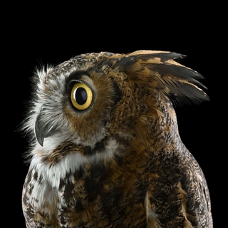 Great Horned Owl #1, Espanola, NM, 2011