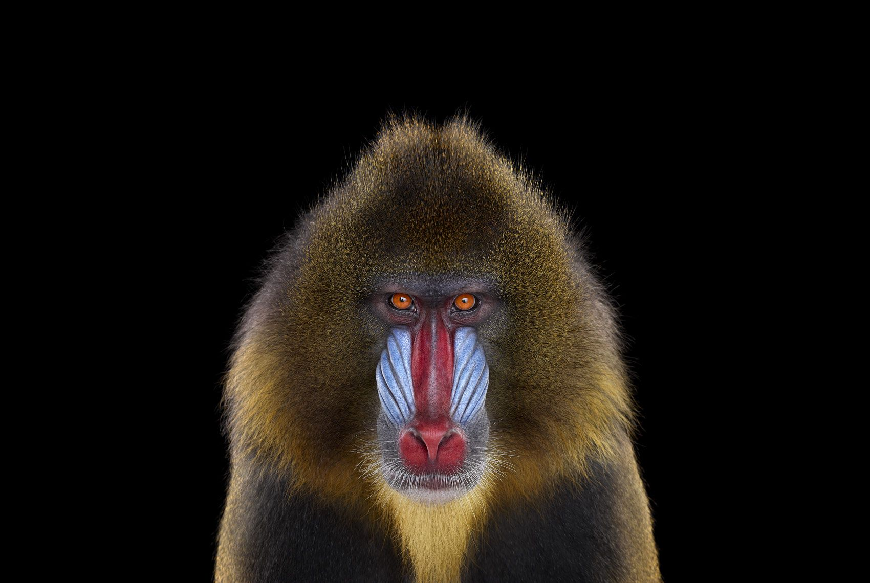 Mandrill #1, Los Angeles, CA, 2014,Brad Wilson,Photographie