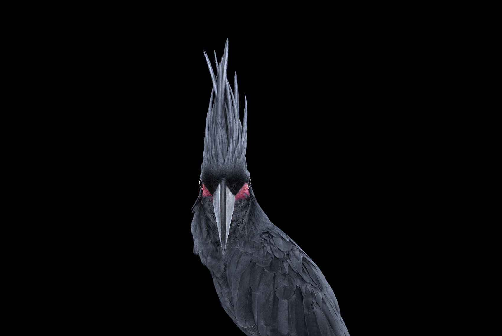 Palm Cockatoo #2, Los Angeles, CA, 2016,Brad Wilson,Photographie