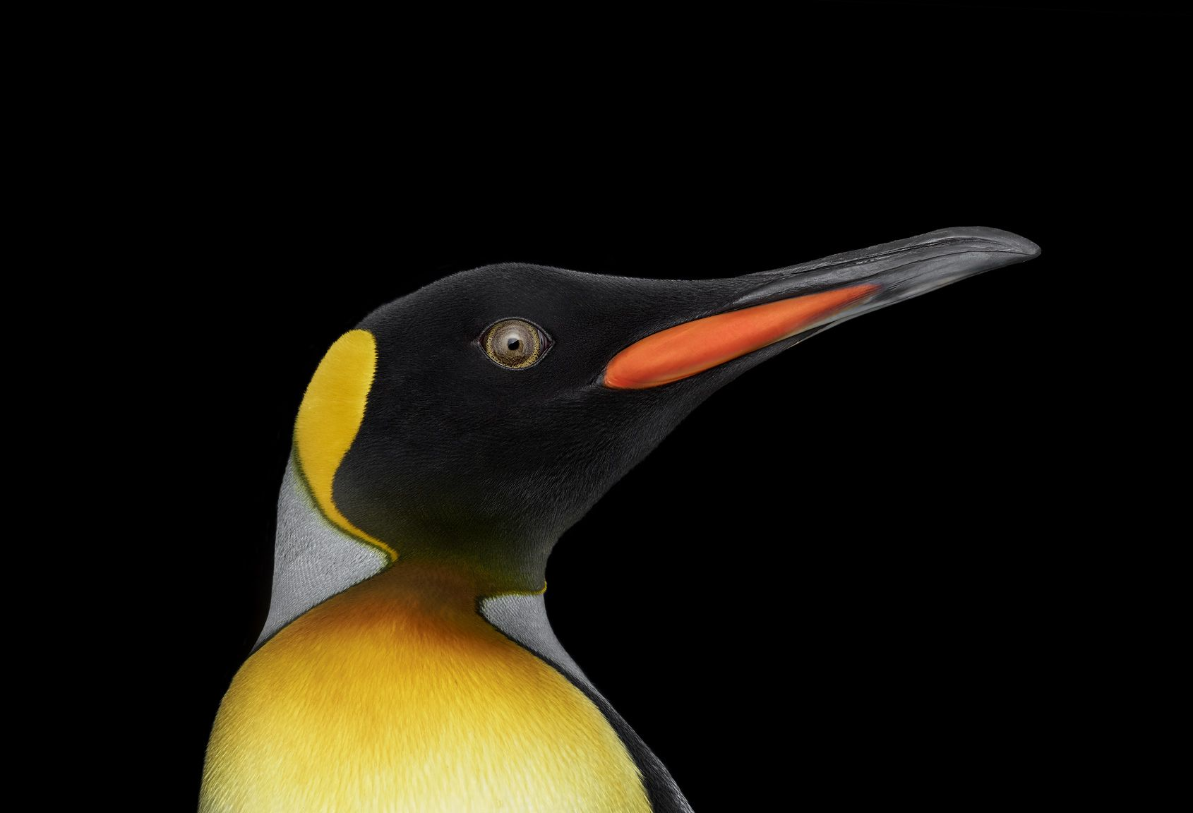 King Penguin #9, Albuquerque, New Mexico, USA, 2019