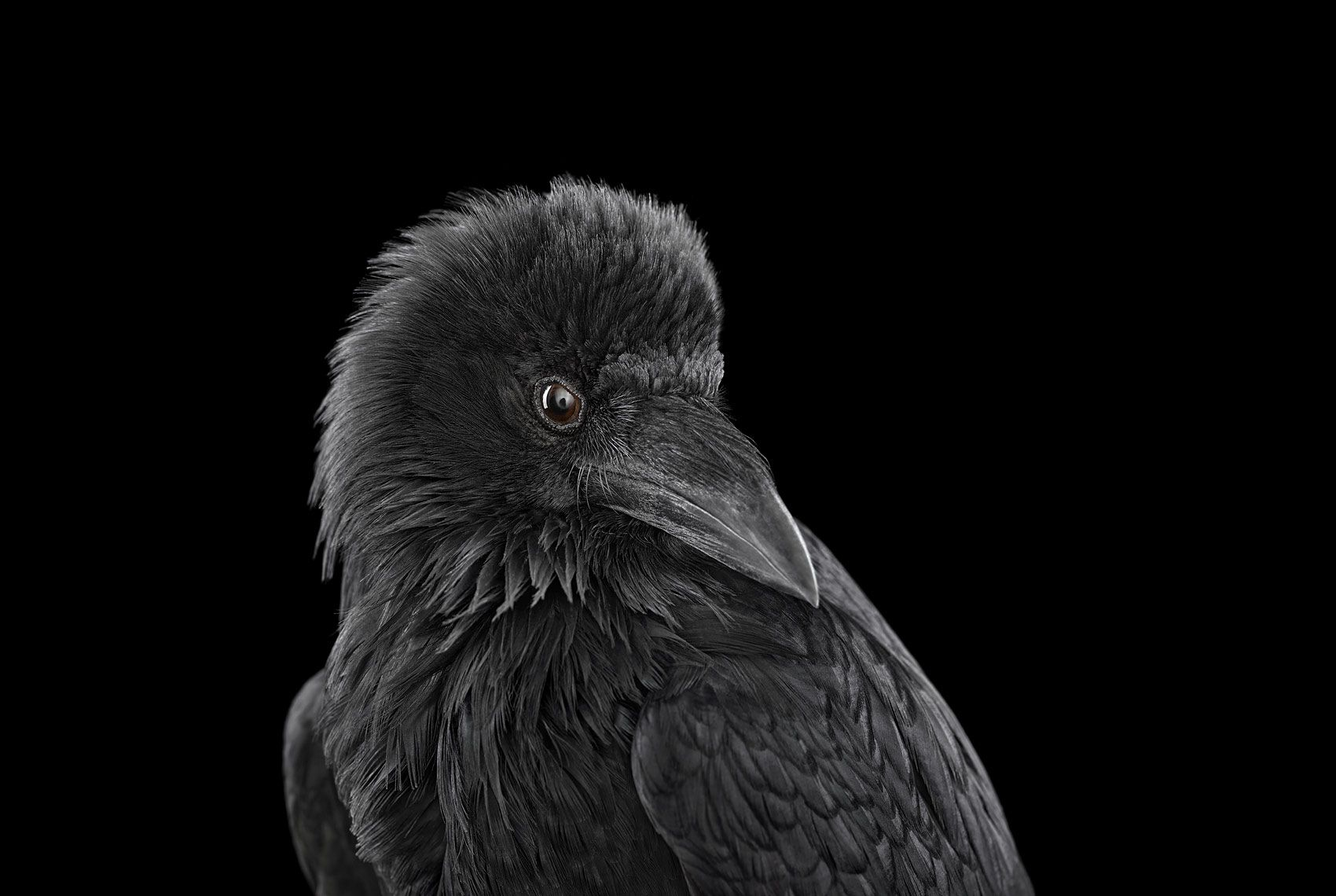 Raven #2, Albuquerque, NM, 2013,Brad Wilson,Photography