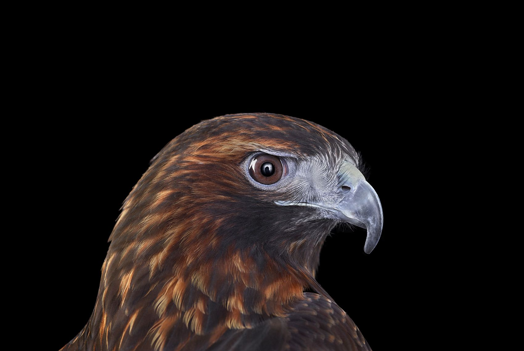 Red Tailed Hawk #4, Albuquerque, NM, 2016,Brad Wilson,Photography