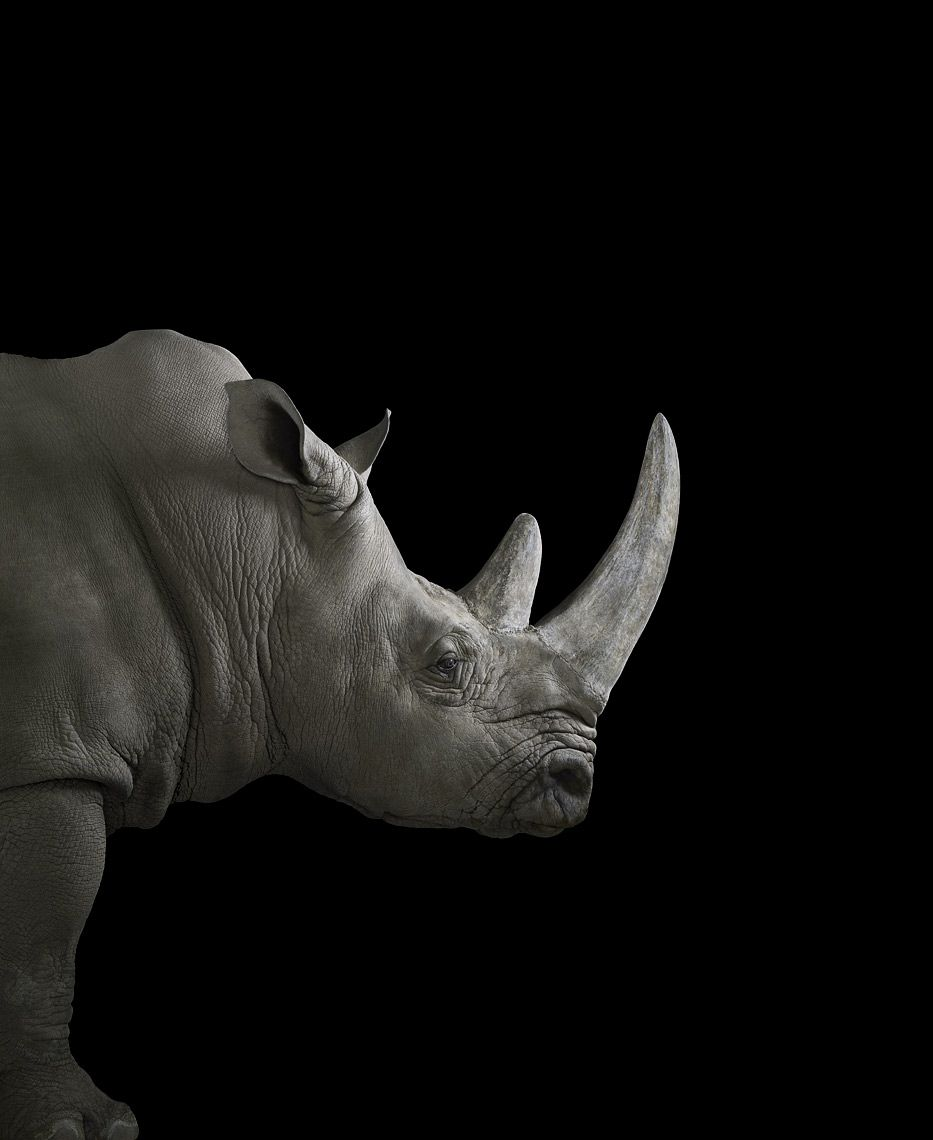Rhinoceros #2, Albuquerque, NM, 2013,Brad Wilson,Photographie contemporaine