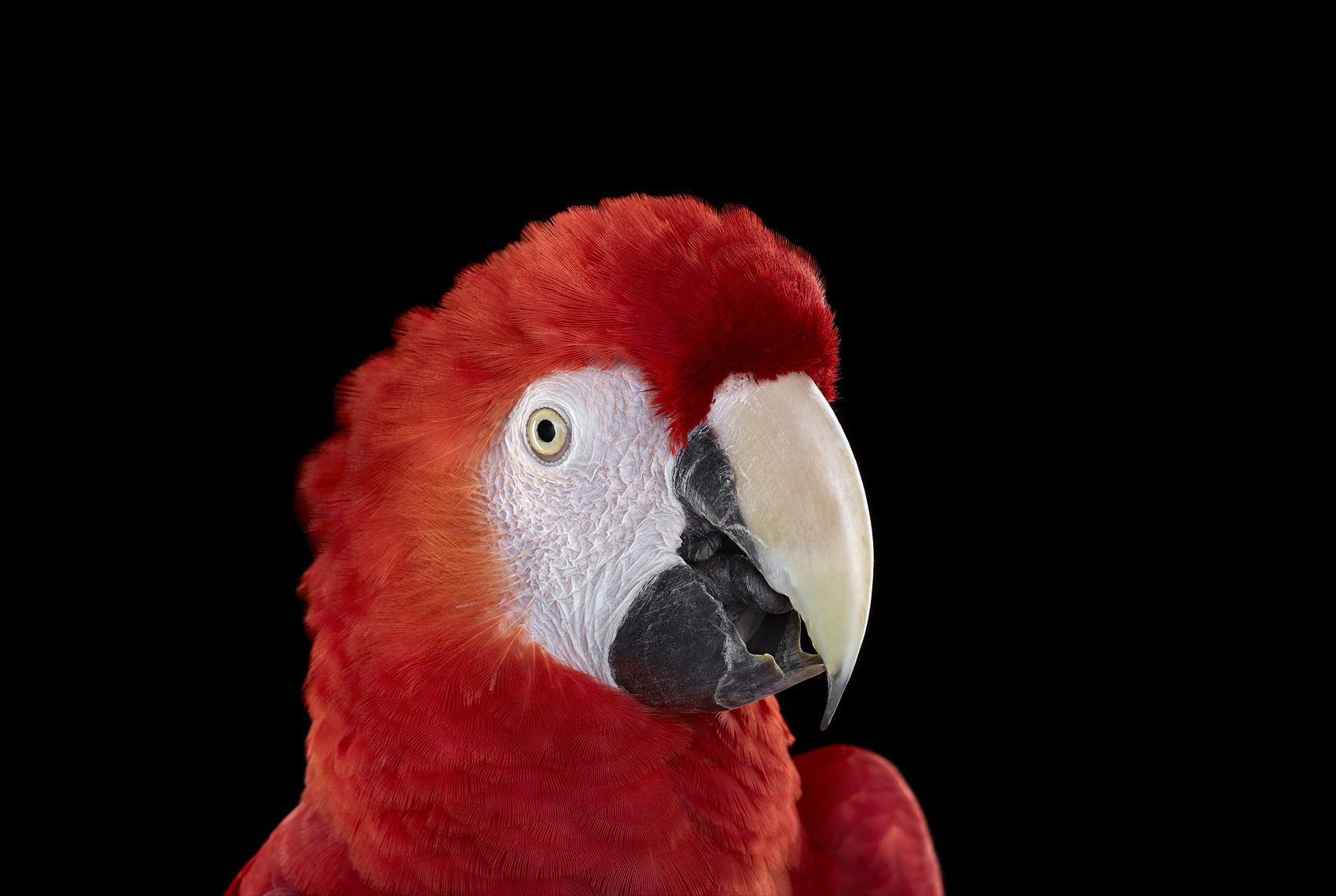 Scarlet Macaw #1, Albuquerque, NM, 2016,Brad Wilson,Photographie contemporaine