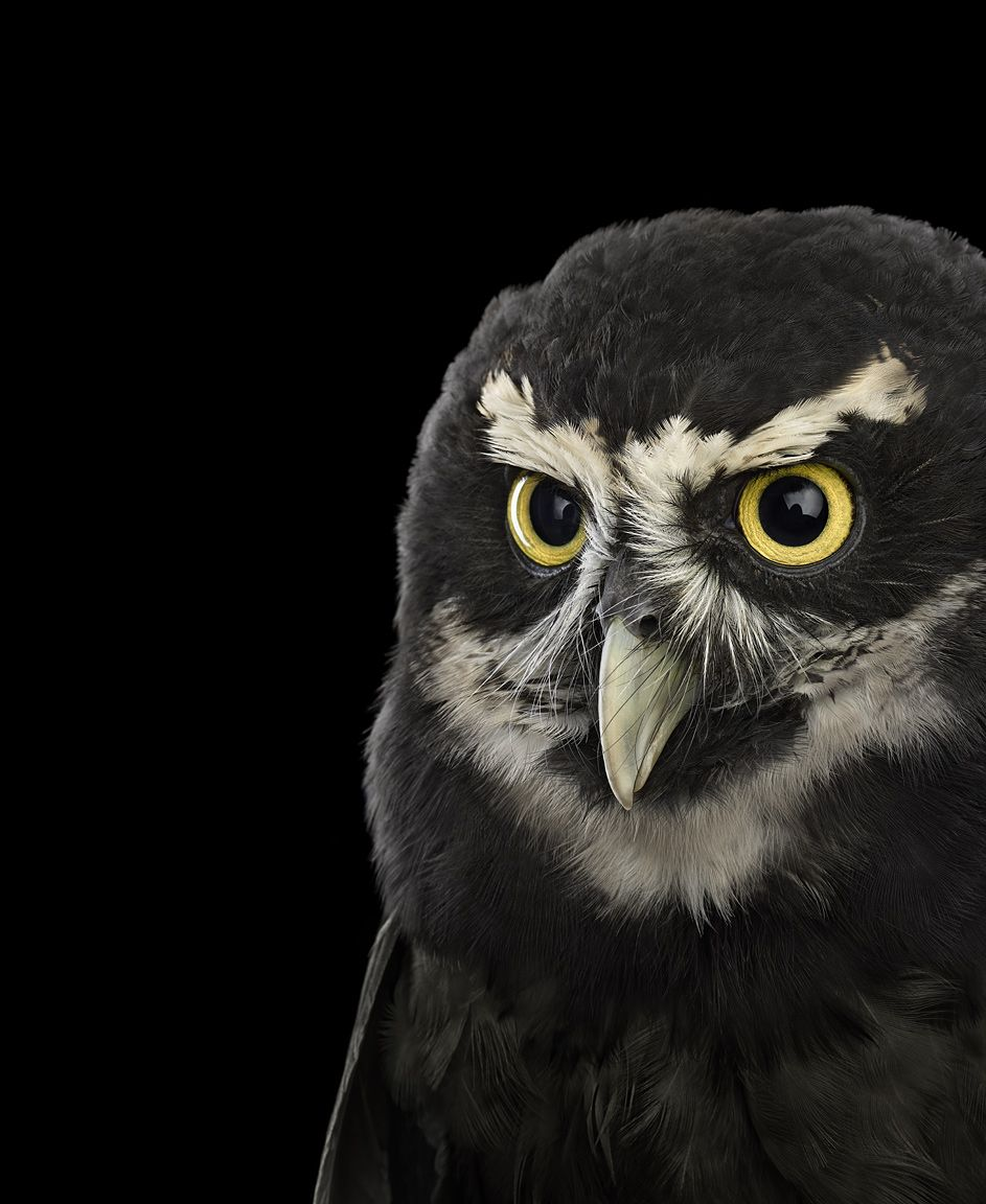 Spectacled Owl #2, Saint Louis, Missouri, USA, 2018,Brad Wilson,Photographie contemporaine