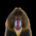 Mandrill #1, Los Angeles, CA, 2014