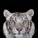 White Tiger #4, Los Angeles, CA, 2010