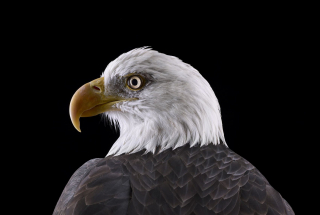 Bald Eagle #1, St Louis, MO, 2012
