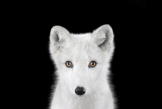 Arctic Fox #1, Los Angeles, CA, 2011