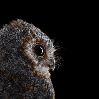 Flammulated Owl #5, Espanola, New Mexico, USA, 2018