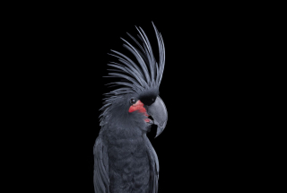 Palm Cockatoo #1, Los Angeles, CA, 2016