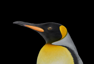 King Penguin #1, Albuquerque, New Mexico, USA, 2019