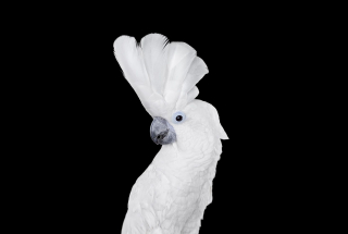 White Cockatoo #1, Albuquerque, NM, 2016