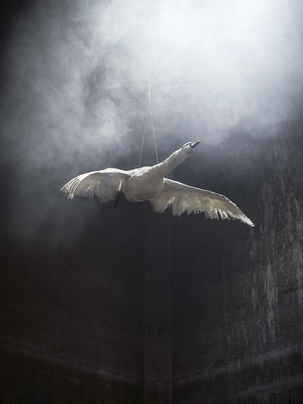 Swan in Flight 2, série Residence of Impermanence - Christian Houge - Photographie contemporaine