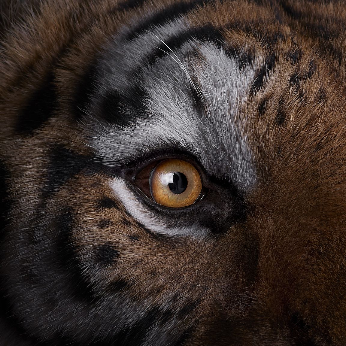 Tiger #9, Los Angeles, California, USA, 2018