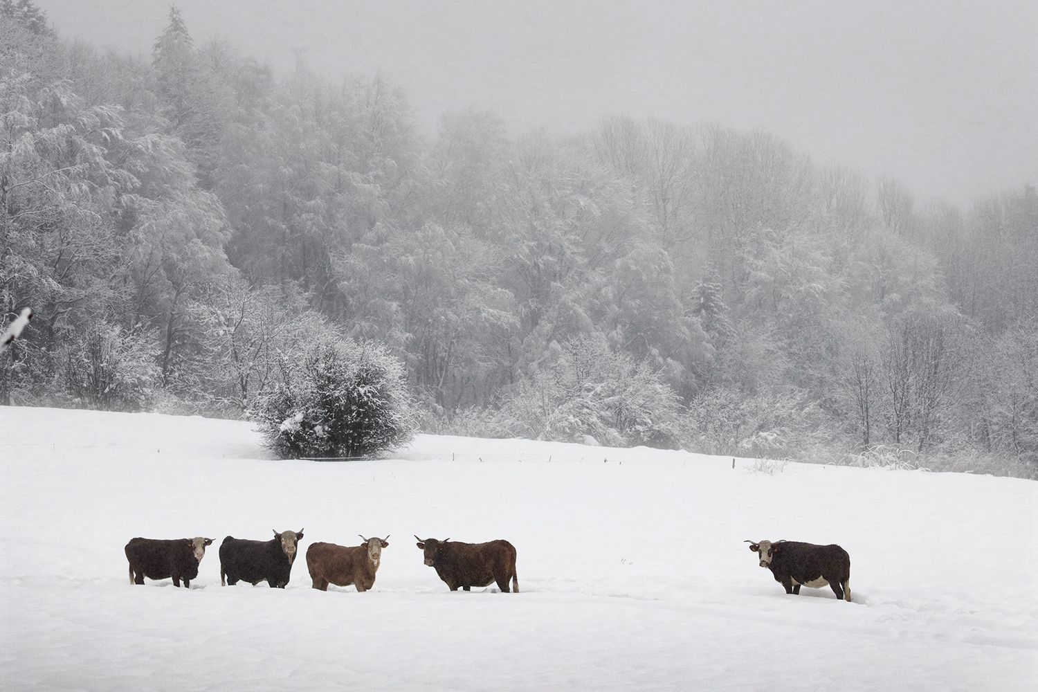 Cows in the snow,Christophe Jacrot,Photography