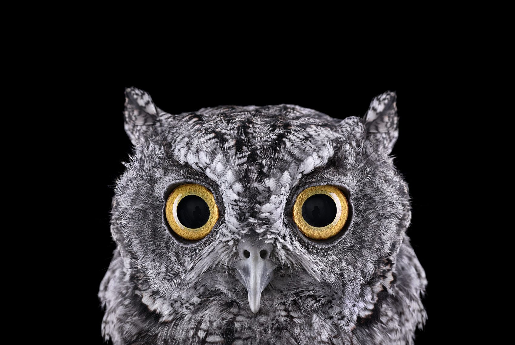 Western Screech Owl #1, Espanola, NM, 2011,Brad Wilson,Photography
