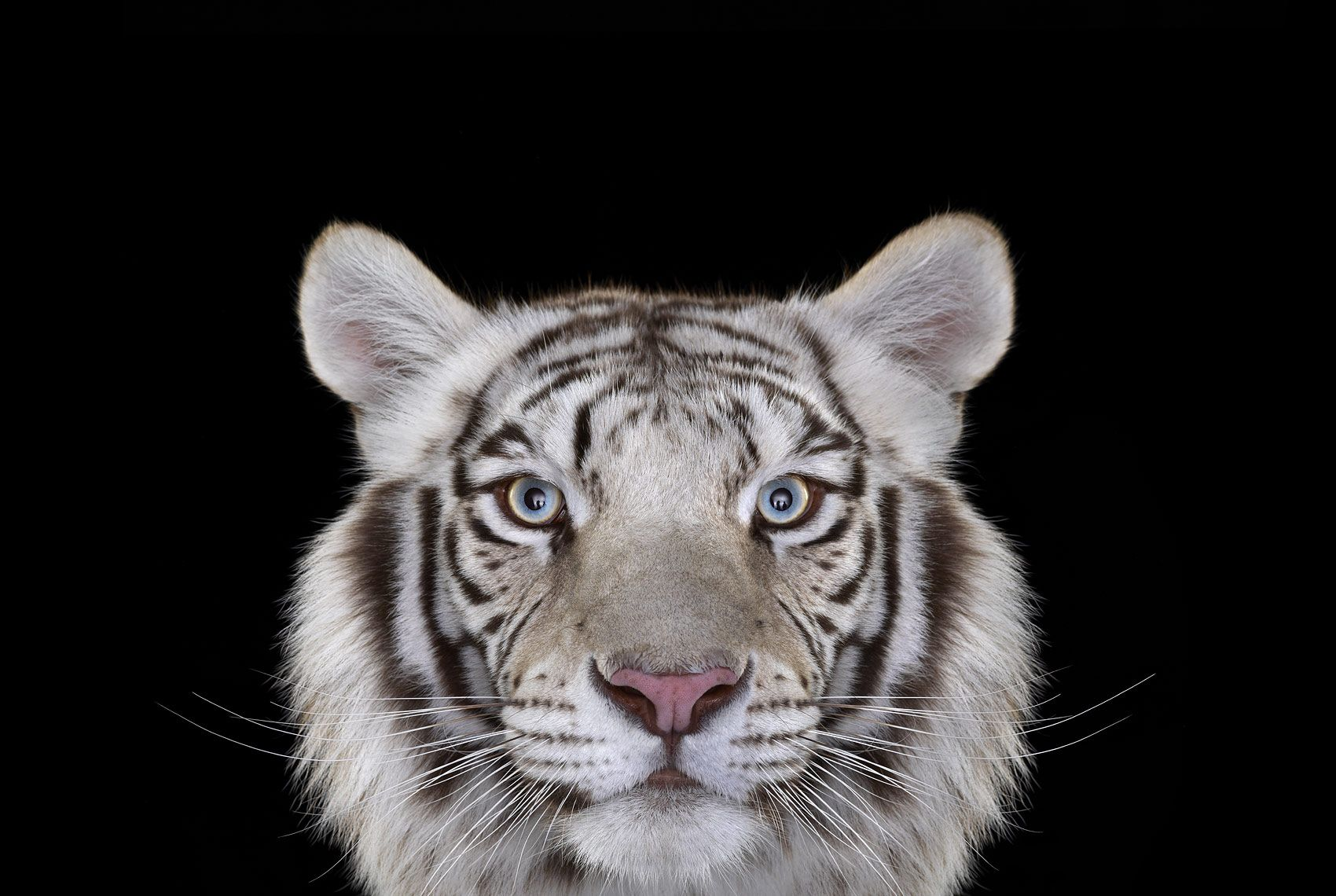 White Tiger #4, Los Angeles, CA, 2010,Brad Wilson,Photographie