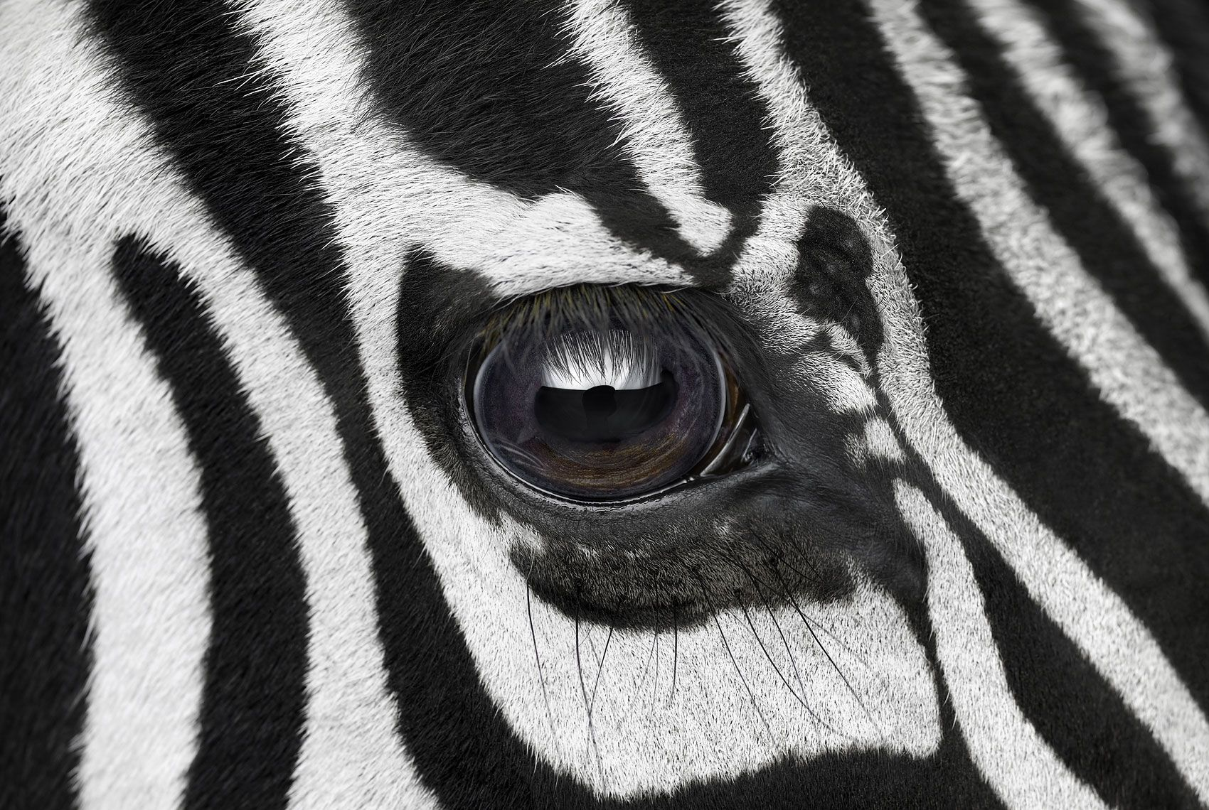 Zebra #7, Los Angeles, CA, 2016,Brad Wilson,Photography